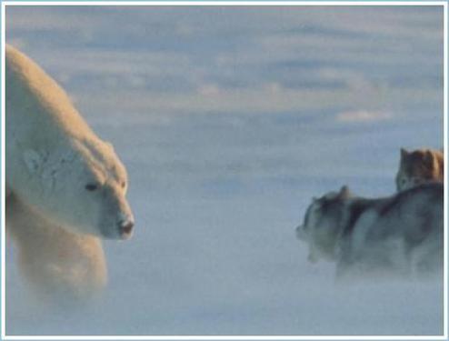 polar_bear_huskies2