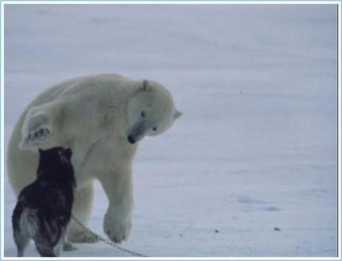 polar_bear_huskies3